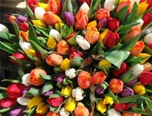 тюльпаны (300x230, 44Kb)