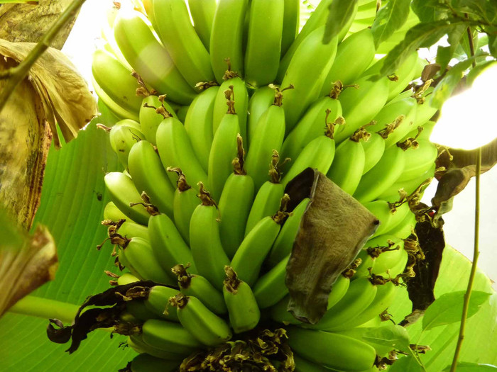 2627134_bananas_05 (700x525, 132Kb)