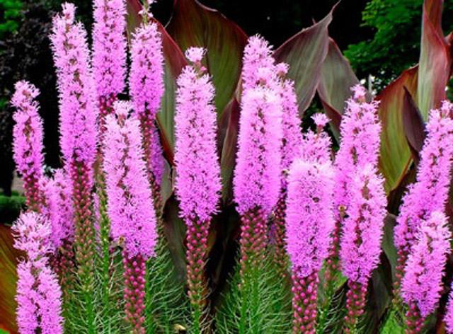 Цветы лиатрис