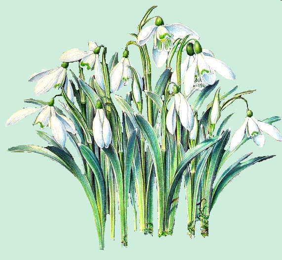 snowdrops (sold)[1] (571x528, 326Kb)