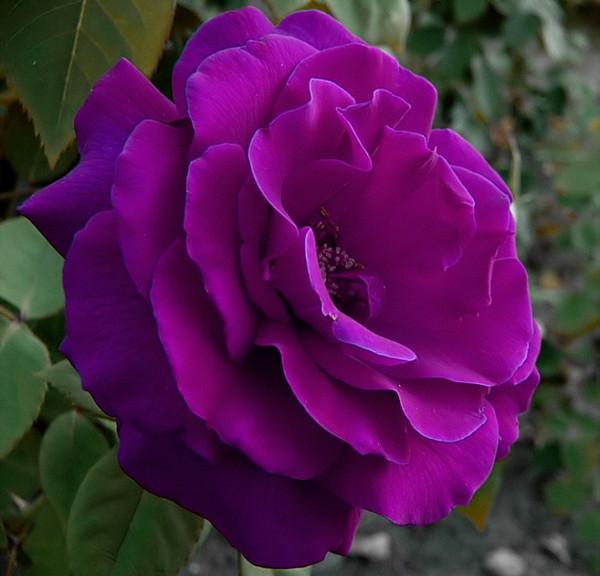 фиолетовый цвет 4 (600x576, 241Kb)