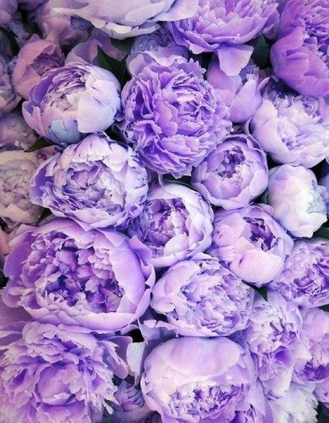 фиолетовый цвет 6 (470x604, 315Kb)
