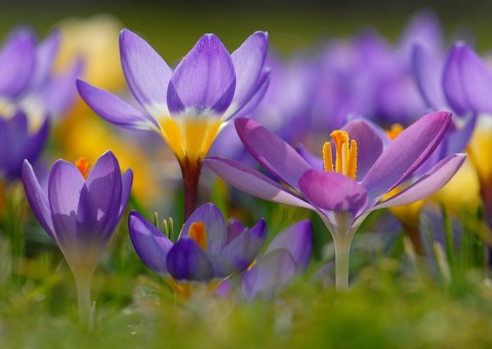 фиолетовый цвет 10 (700x497, 314Kb)