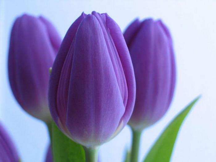 фиолетовый цвет 17 (700x525, 173Kb)