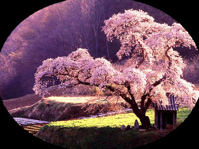 beautiful-japanese-maple-218870 (700x524, 851Kb)