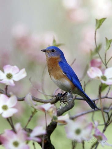 steve-maslowski-male-eastern-bluebird-in-flowering-dogwood-tree-sialia-sialis-north-america-missouri-state-bird (366x488, 116Kb)