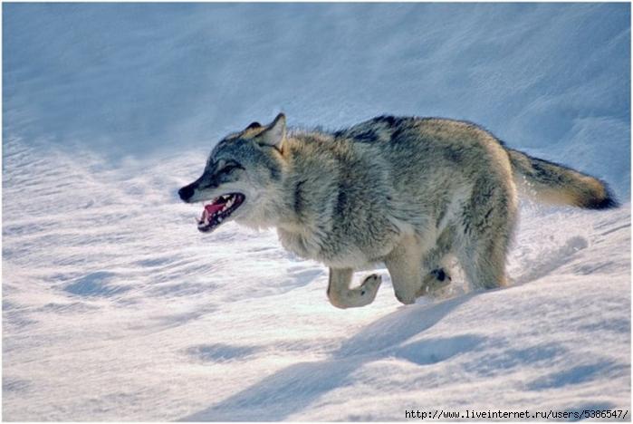 волк (700x468, 218Kb)
