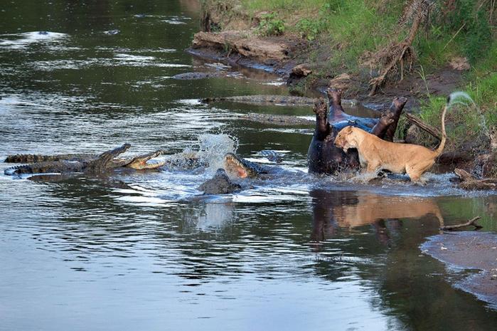 дикие животные фото (700x465, 423Kb)