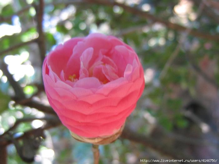 pink-camellia-flower-bud (700x525, 245Kb)