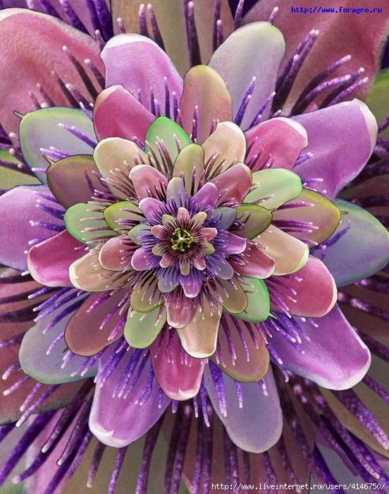 74971033_vv_flower_passionflower_1_h_orig (552x700, 305Kb)