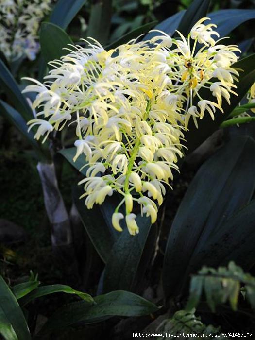 orchids09 (525x700, 263Kb)