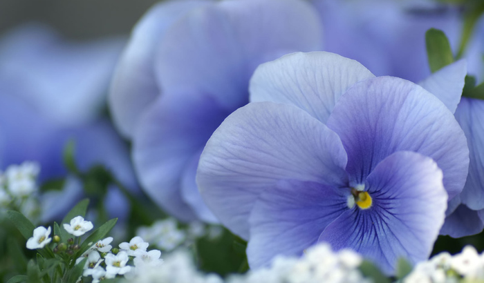 2835299_vtorayaNature___Flowers_Beautiful_spring_Viola_violets__pansies_066248_27 (700x410, 103Kb)