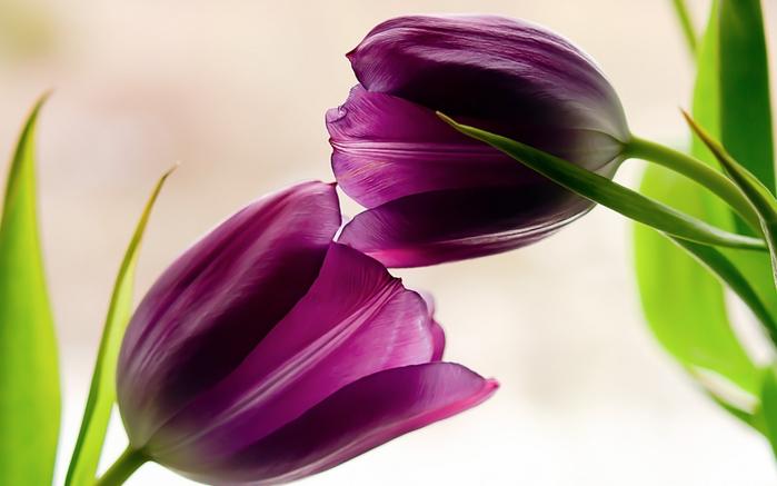 тюльпан1 (700x437, 245Kb)