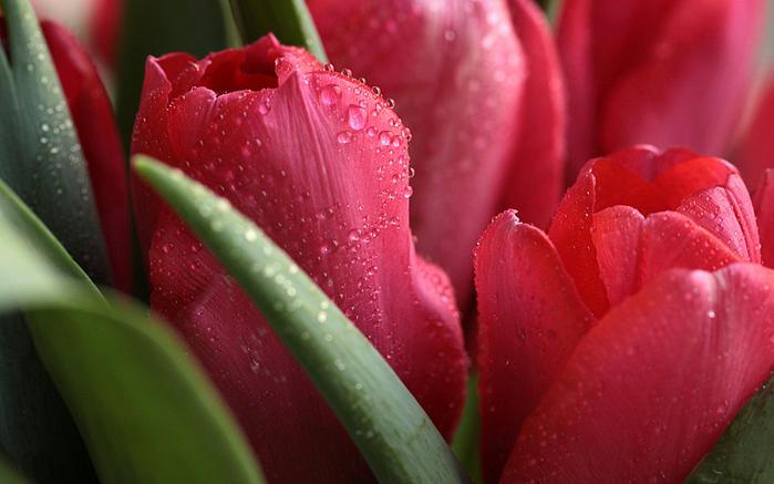 тюльпан 9 (700x437, 388Kb)