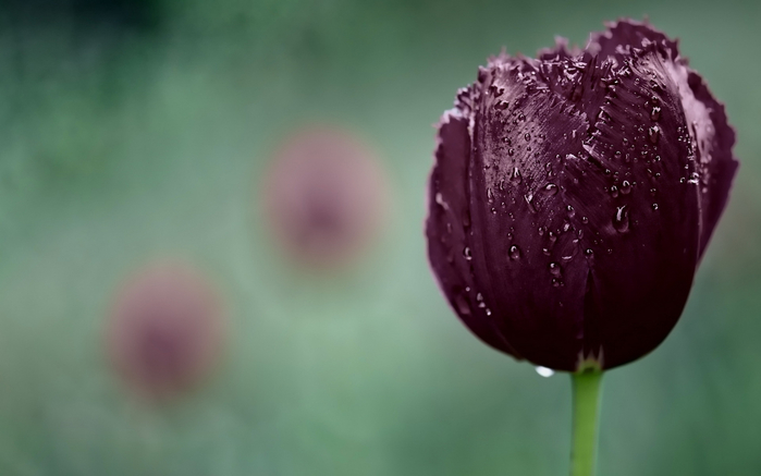 тюльпан 12 (700x437, 186Kb)