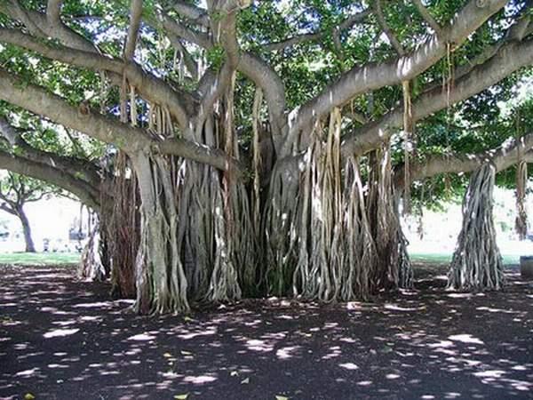 Banyan-trees-13 (600x450, 269Kb)
