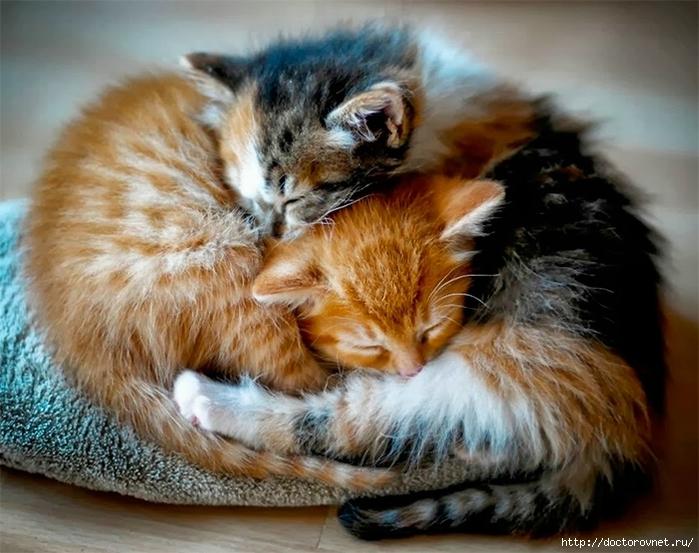 спящие коты21 (700x553, 278Kb)