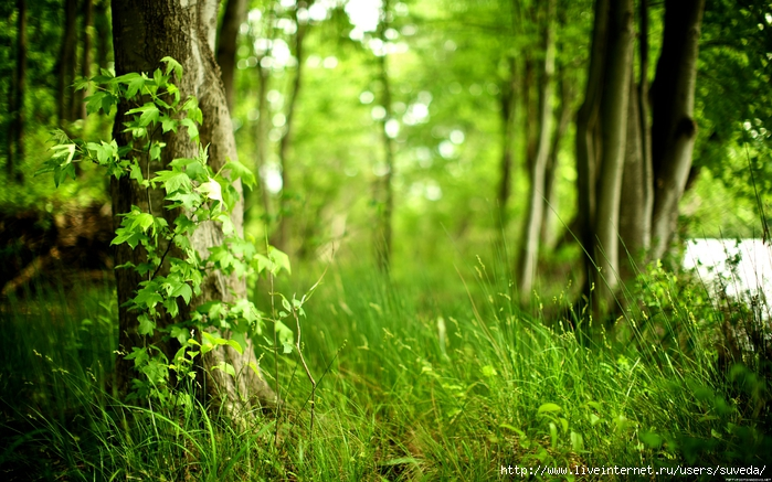 116328Лето в лесу (700x437, 325Kb)