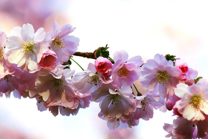 1396089715_sakura_foto (700x468, 186Kb)
