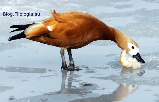 3241858_bird07 (550x354, 76Kb)