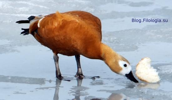 3241858_bird09 (550x319, 64Kb)