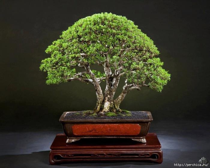 4979645_bbonsai_tree_1_20120905_1592123588 (700x560, 216Kb)