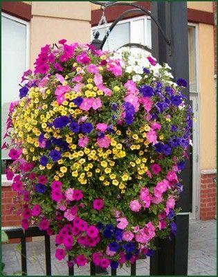 Вырастить красивые ампельные цветы