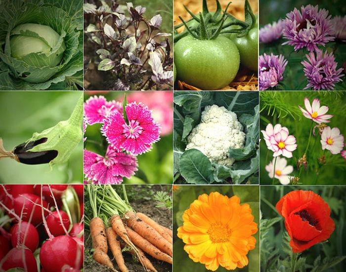 Цветок агератум: посадка и уход в открытом грунте, фото, выращивание из