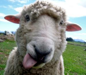 картинки овца