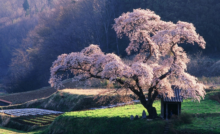 4391155-R3L8T8D-1000-spring_in_japan-wallpaper-1920x1200 (700x427, 406Kb)