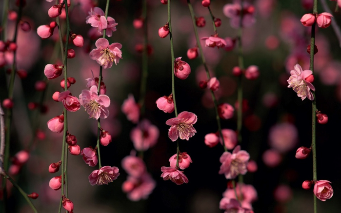 4381355-R3L8T8D-1000-sakura-blossom-awesome-spring-flowers-nature_179469 (700x437, 258Kb)