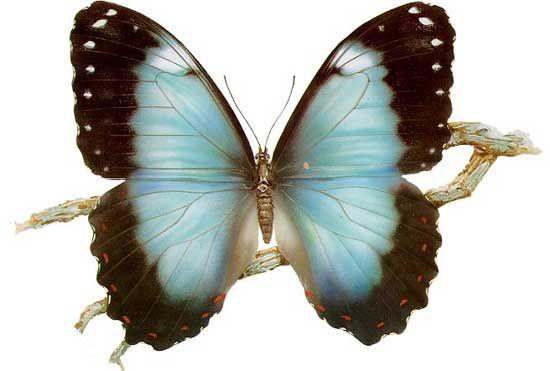 Бабочки и другие насекомые. Картинки для декупажа (8) (550x371, 118Kb)