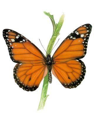 Бабочки и другие насекомые. Картинки для декупажа (10) (320x394, 78Kb)