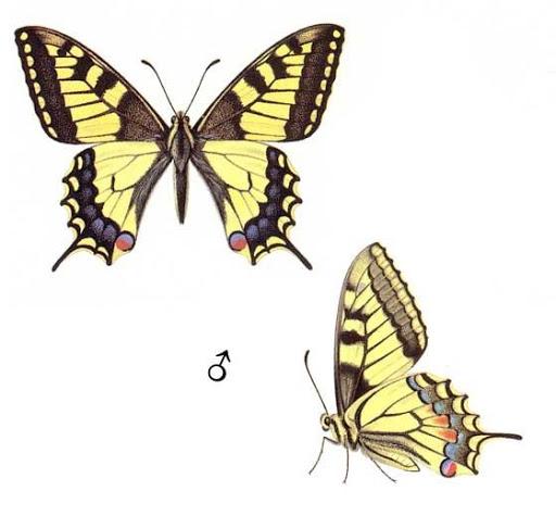 Бабочки и другие насекомые. Картинки для декупажа (27) (512x475, 120Kb)