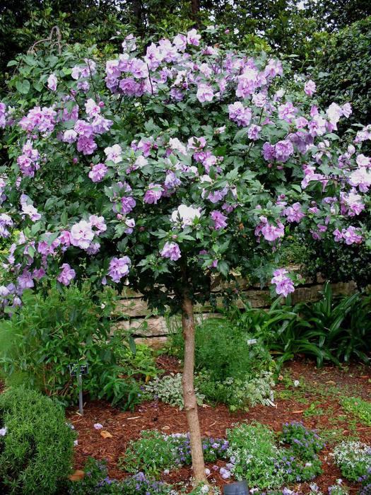 Hibiscus-syriacus-Arden-Гибискус-сирийский-полумахровыймахровый-Arden1 (525x700, 120Kb)