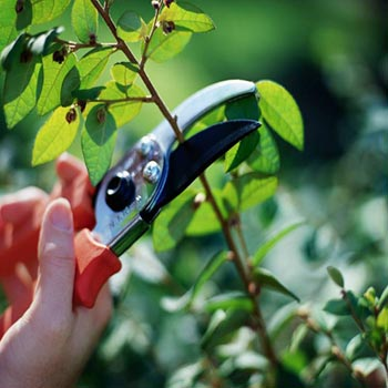 pruning (350x350, 24Kb)