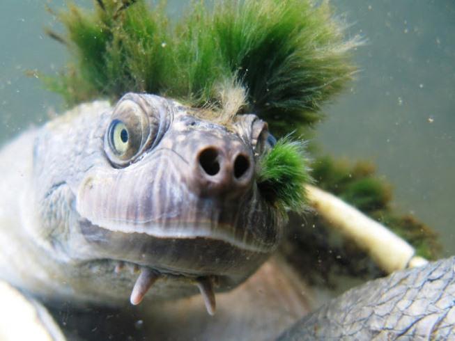 экзотическая черепаха реки мэри австралия фото 2 (653x490, 254Kb)