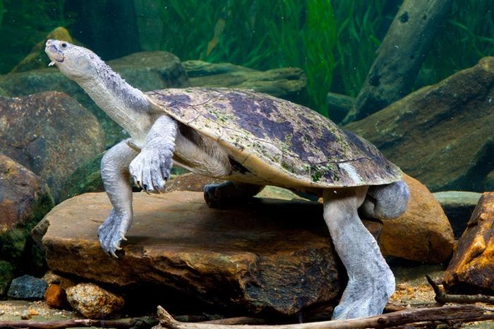 экзотическая черепаха реки мэри австралия фото 4 (700x466, 425Kb)