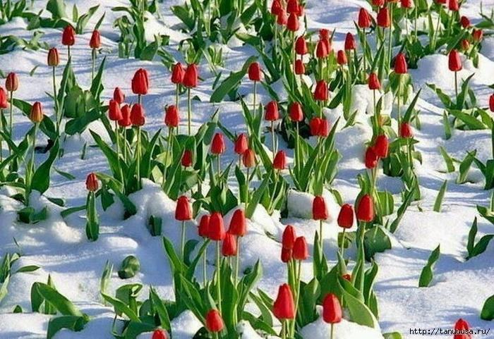 Цветы в снегу1а (700x481, 345Kb)