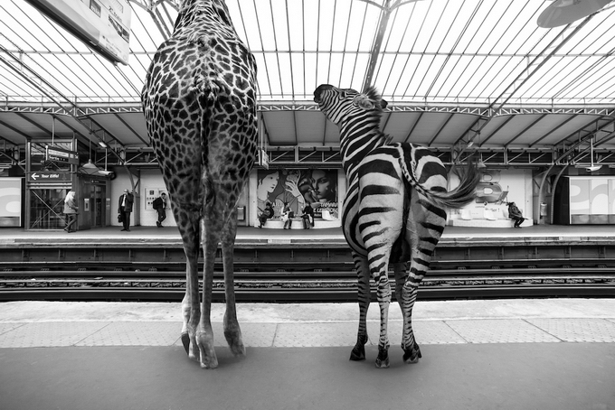 черно белые фото животных 1 (680x454, 258Kb)
