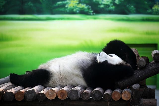 panda 12 (640x427, 243Kb)
