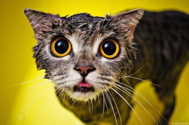 мокрые кошки фото 1 (650x432, 280Kb)