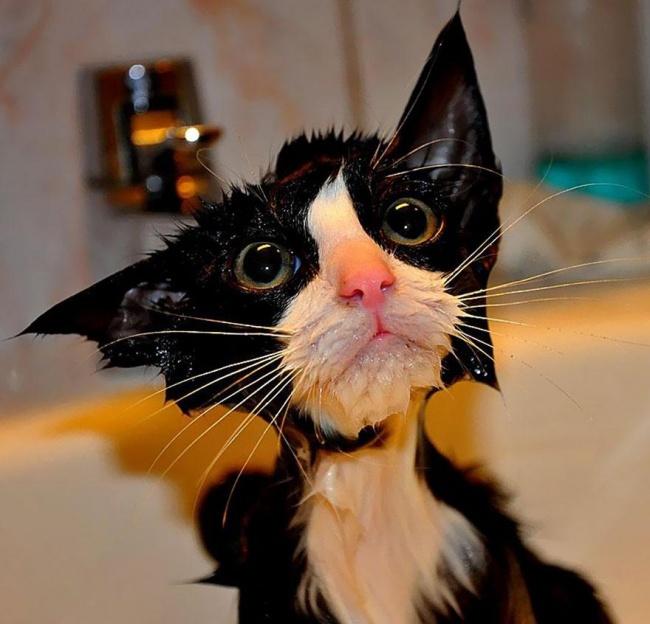 мокрые кошки фото (650x624, 290Kb)