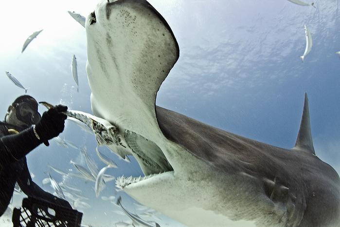 дайвер и акула фото 1 (700x466, 308Kb)