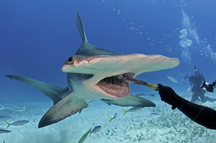 дайвер и акула фото (700x463, 348Kb)