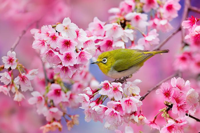 цветение сакуры фото 1 (700x466, 403Kb)