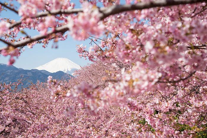 цветение сакуры фото 2 (700x466, 538Kb)