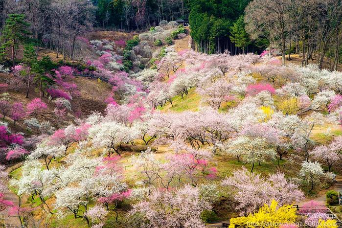 цветение сакуры фото 4 (700x466, 565Kb)