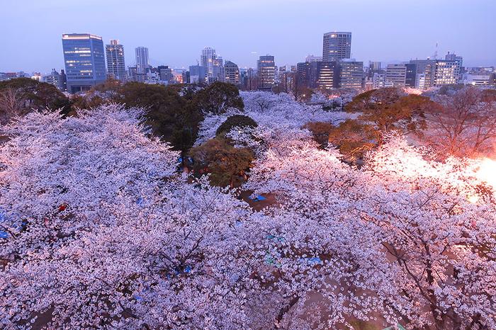 цветение сакуры фото 6 (700x466, 541Kb)