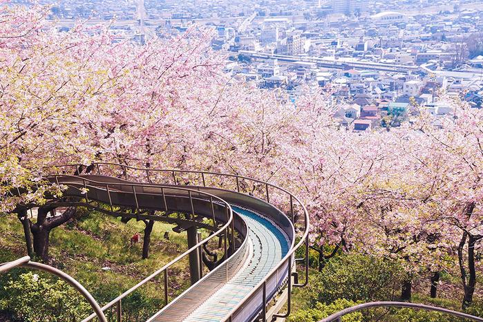 цветение сакуры фото 8 (700x466, 669Kb)